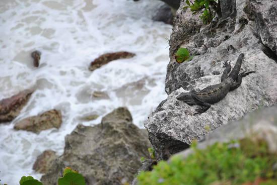 Iguana a Tùlum