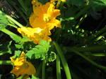 Fiore di zucchina