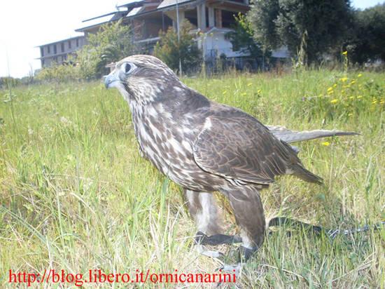 Falco in calabria