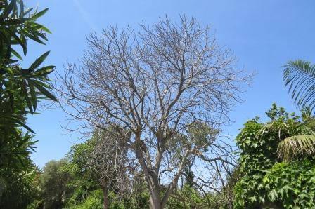 L'albero di fichi che non c'è più