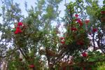Rose Pruno, Albicocco e altri