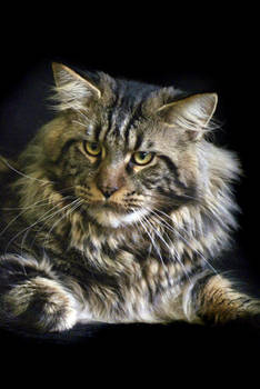 maine_coon_mogan