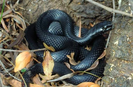 Io e i serpenti su mo monster for Biscia nera