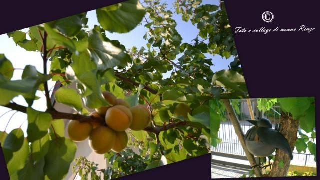2012-06-21 albicocche