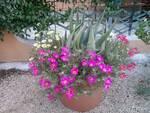 Fiori d'estate in vaso (1)