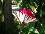 Farfalla (1)