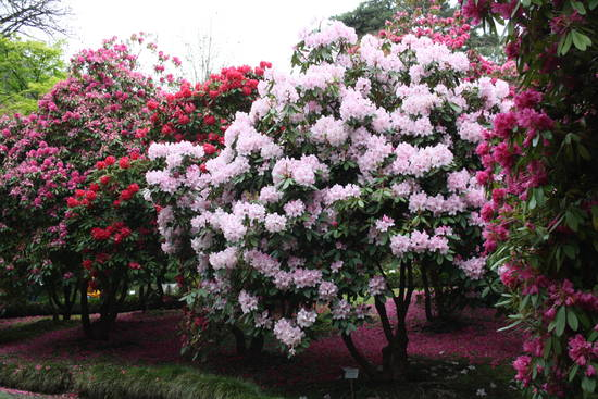 Condividi la foto pianta di rododendro dall 39 album foto for Rododendro pianta