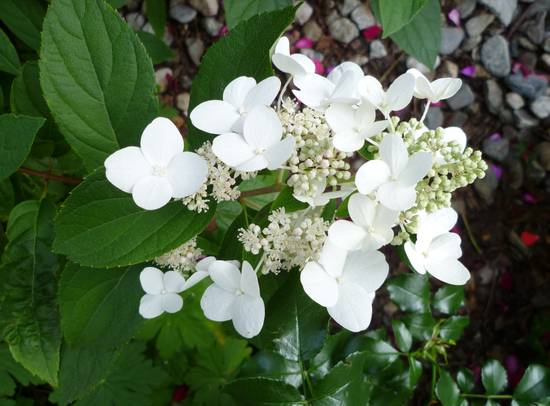 Fiori Ortensie Bianche : Foto ortensie bianche dall album fiori di alea dgl su