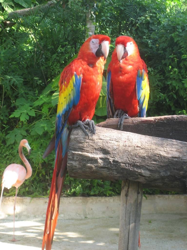 pappagalli-messicani
