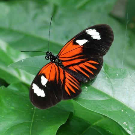 farfalla4