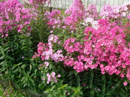 Foto fiori da bordura dall 39 album foto profilo di amicizzia for Piante perenni da bordura