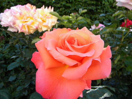 Un Rosa da angelus.60