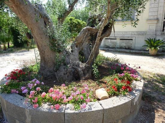 Foto p1000164 medium dall 39 album foto profilo di for Aiuola con ulivo