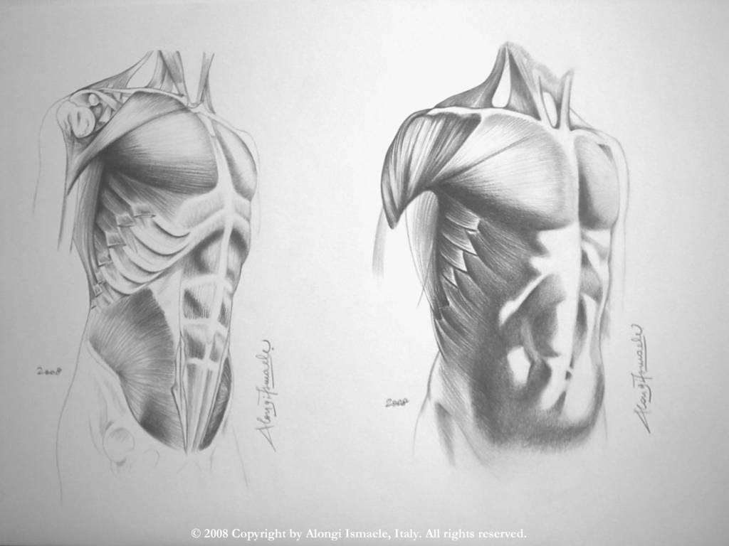 Studio anatomico multiplo dei muscoli frontali del torso del corpo umano, 2008, Ismaele Alongi, cm 33 x 48, matita su cartoncino