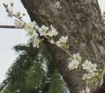 fiori di pruno