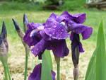 iris dopo la pioggia