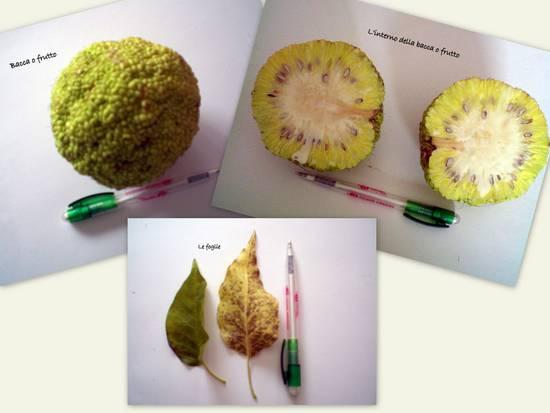bacca o frutto