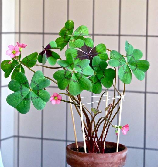 Foto quadrifoglio in fiore dall 39 album dedicate di - Immagini di quadrifoglio a quattro foglie ...