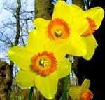 narcisi gialli