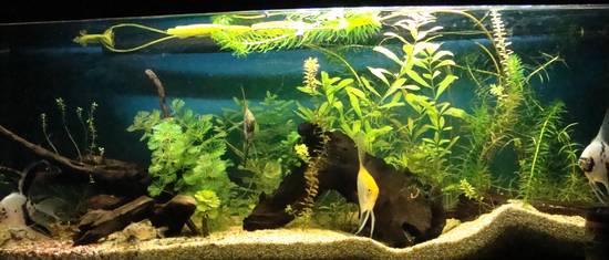 Il mio acquario amazzonico acquariofilo for Quali pesci mettere nel laghetto