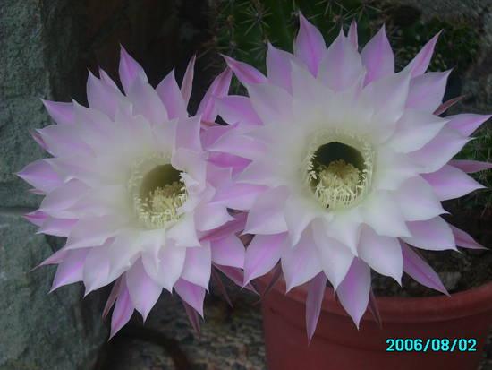 foto i fiori delle piante grasse b dall 39 album foto profilo