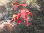 foglie di kaki