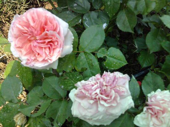 Foto rosa inglese dall 39 album foto profilo di duilia for Rosa inglese