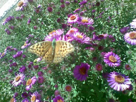Foto 26092010001 settembrini con f dall 39 album fiori di - Settembrini fiori ...