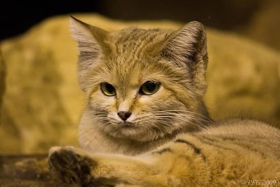 gatto delle sabbie - non lo sapevate che esiste un gatto così, vero? dans gatti b7be063f5d_2020963_med
