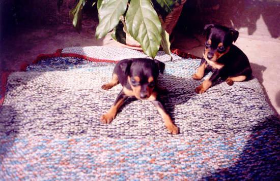 Foto pinscher toy nero focato dall 39 album foto profilo di for Pinscher nero