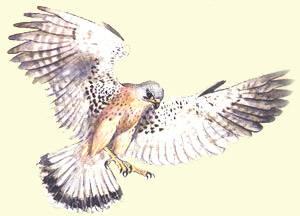 Waly  e il falco dalla coda ro