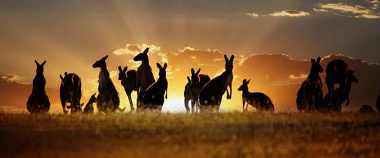Australia-Kangaroos