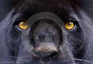 occhi pantera