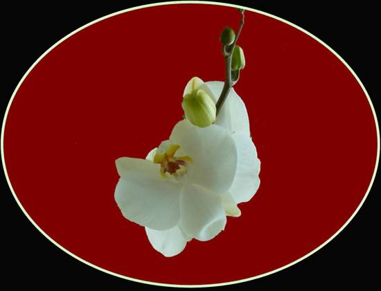 orchidea ovale
