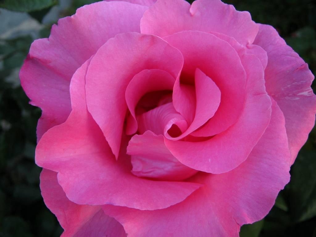 Condividi la foto rosa color fucsia dallalbum fiori ...