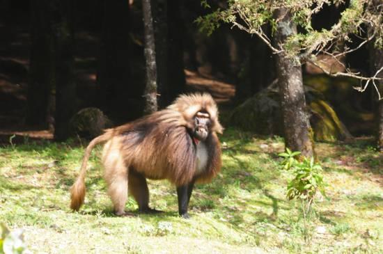 babbuino di montagna maschio dominante aggressivo