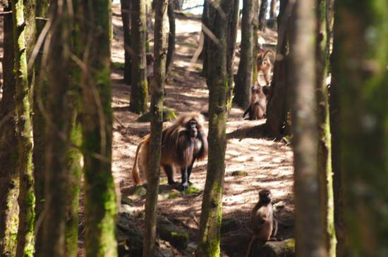 babbuino di montagna maschio dominante