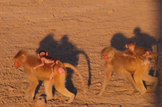 babbuino del deserto