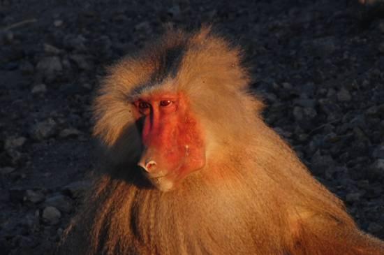 babbuino del deserto maschio dominante