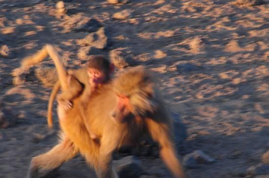 babbuino del deserto frmmina con piccolo