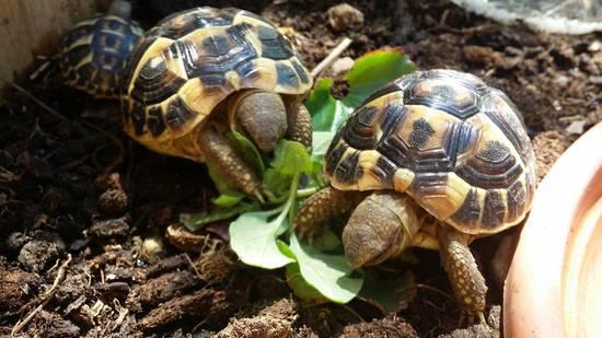 Le tartarughe di terra di silvia amica cavia for Tartarughe di terra prezzo basso