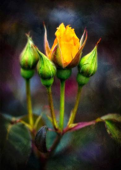 fiori, boccioli