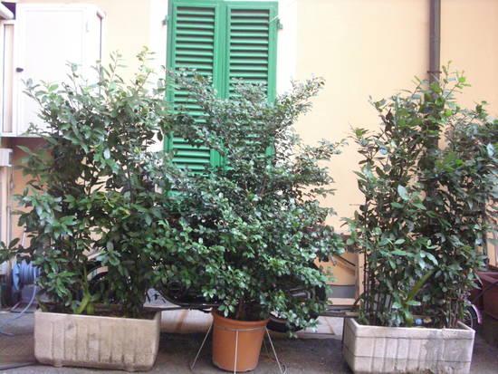 Foto camellia sasanqua in vaso 32 dall 39 album plante pntr for Camelie in vaso