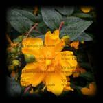 fiore-pioggia-watermark